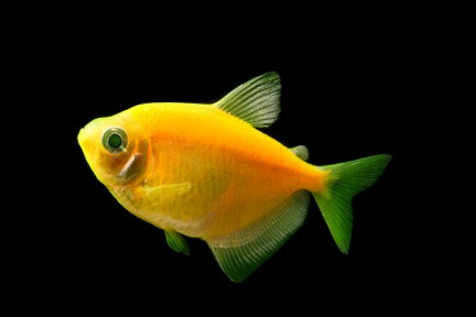 GloFish - * Tetra - Sunburst Orange - 1-2 inch - Quantity of 6