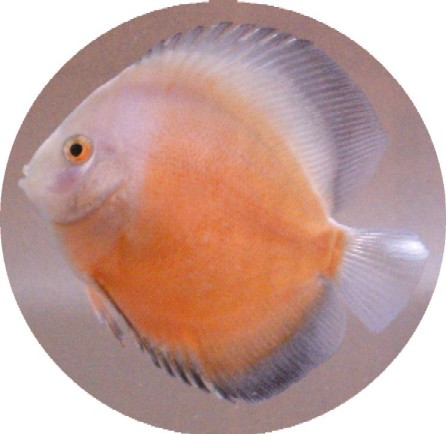 Golden White Discus - 2-3 inch