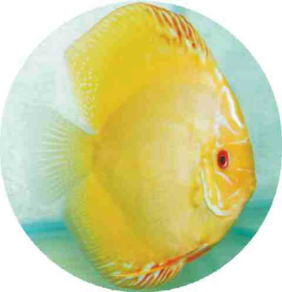 Golden Sunrise Discus Fish 2 inch