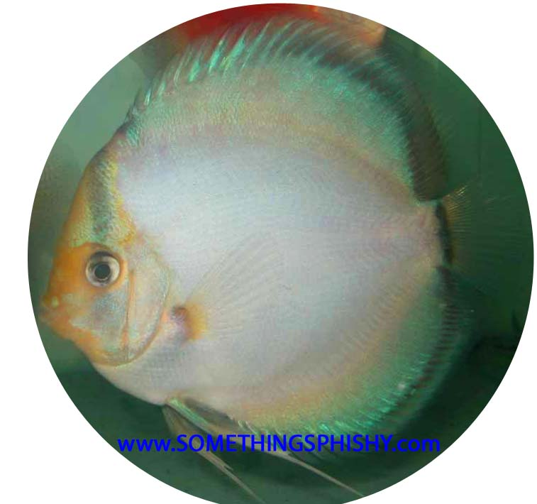 Ghost Discus Fish - 2 inch