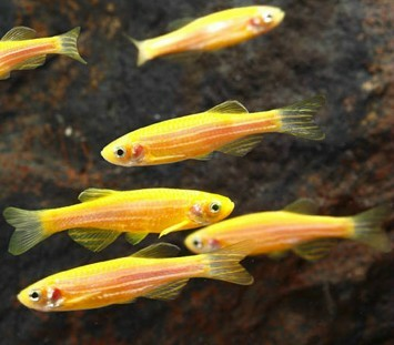 GloFish - Sunburst Orange Danio - 1 inch - Quantity of 6