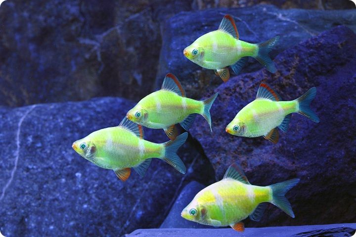 GloFish - Electric Green Barb - 1 inch - Quantity of 6