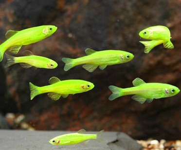 Glofish - Electric Green Danio - 1 inch - Quantity of 6