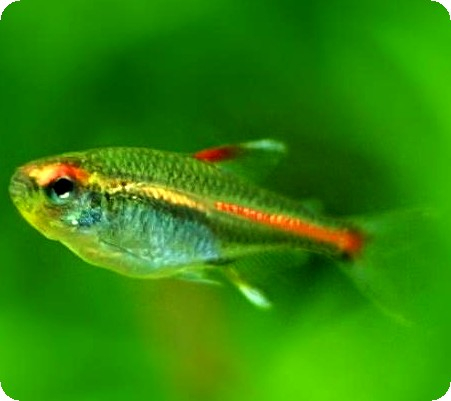 GLOLIGHT TETRA - QUANTITY OF 12