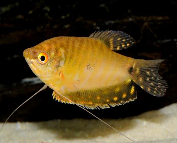 Gold Gourami - Quantity of 3