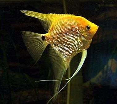Angelfish - Gold Pearlscale - Medium