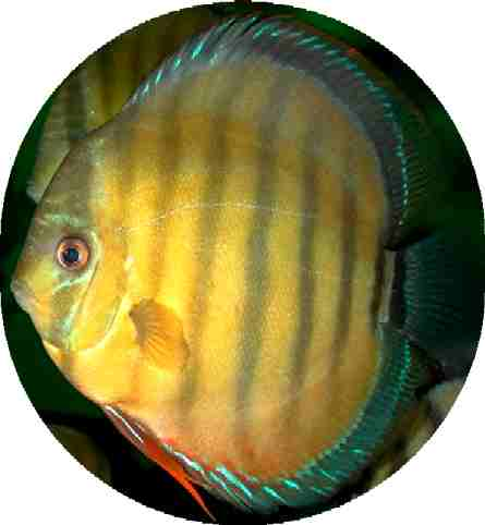 Wild Caught Golden Xingu Discus - 6 inch