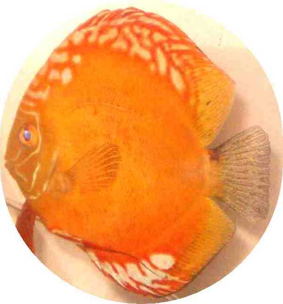 Golden Dragon Discus Fish 2 inch