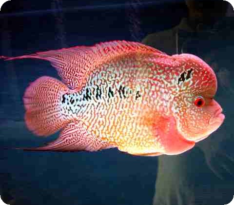 Flowerhorn - Golden Monkey - 2-3 Inch