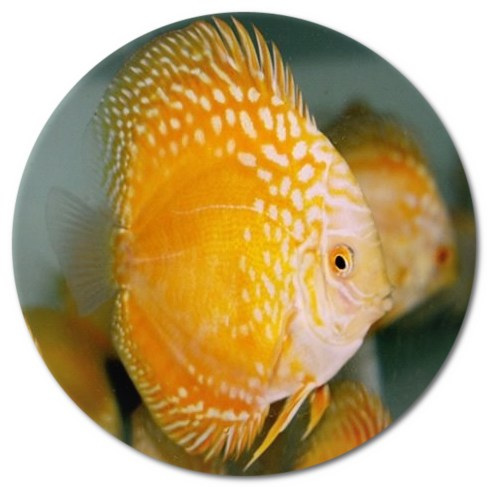Golden Panda Discus Fish 4-5 inch