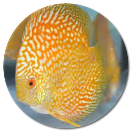 Golden Pearl Discus Fish 2-3 inch