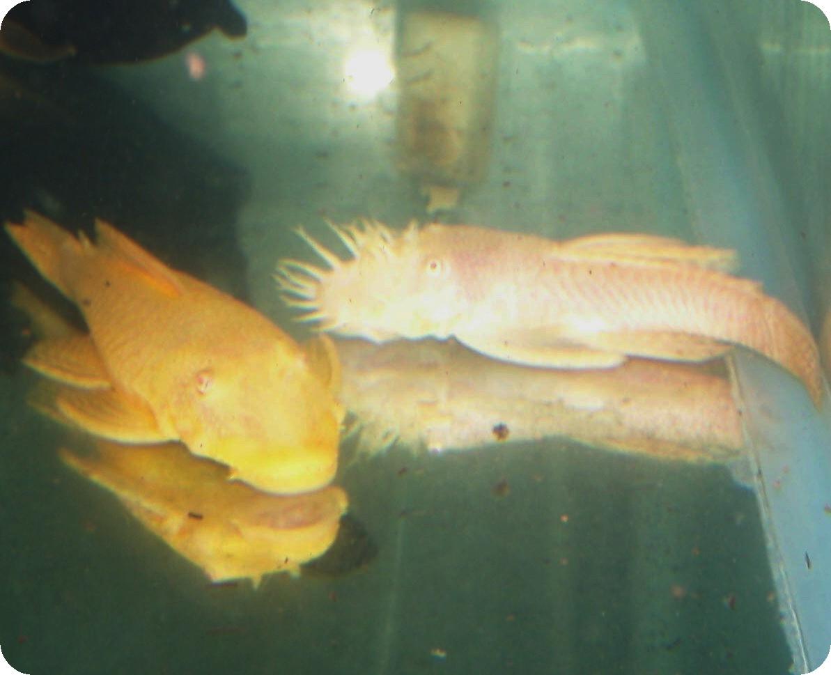 Albino Plecostomus | Pleco Plecostomus Fast Shipping High Quality Low Pricing
