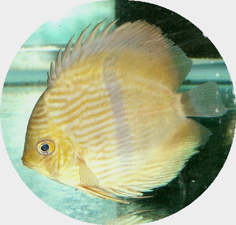 Wild Caught Green Heckel Discus - 5-6 inch