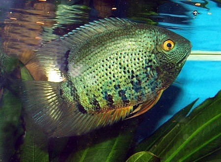SEVERUM GREEN MEDIUIM