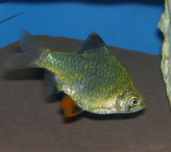 Green Tiger Barb - Quantity of 3