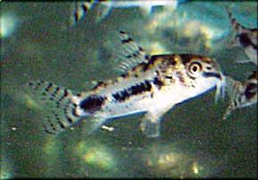Corydoras - Habrosus (Salt And Pepper)