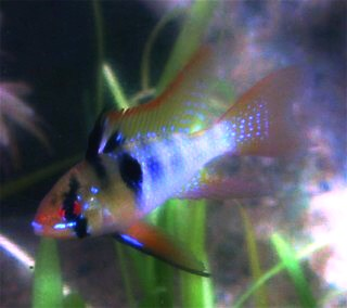 Ram - Long Finned Blue - 1.5 inch