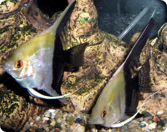 Angelfish - Half Black - Small - Quantity of 5