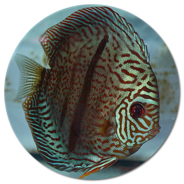 Heckel Red Turquoise Discus Fish 2-3 inch