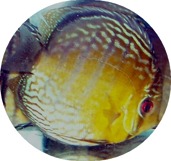 Wild Caught Royal Green Discus - 5-6 inches