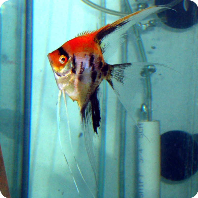Angelfish - Fire Koi - Small - Quantity of 5