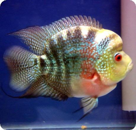 Fish hits photos flower horn fish photos for Flower horn fish