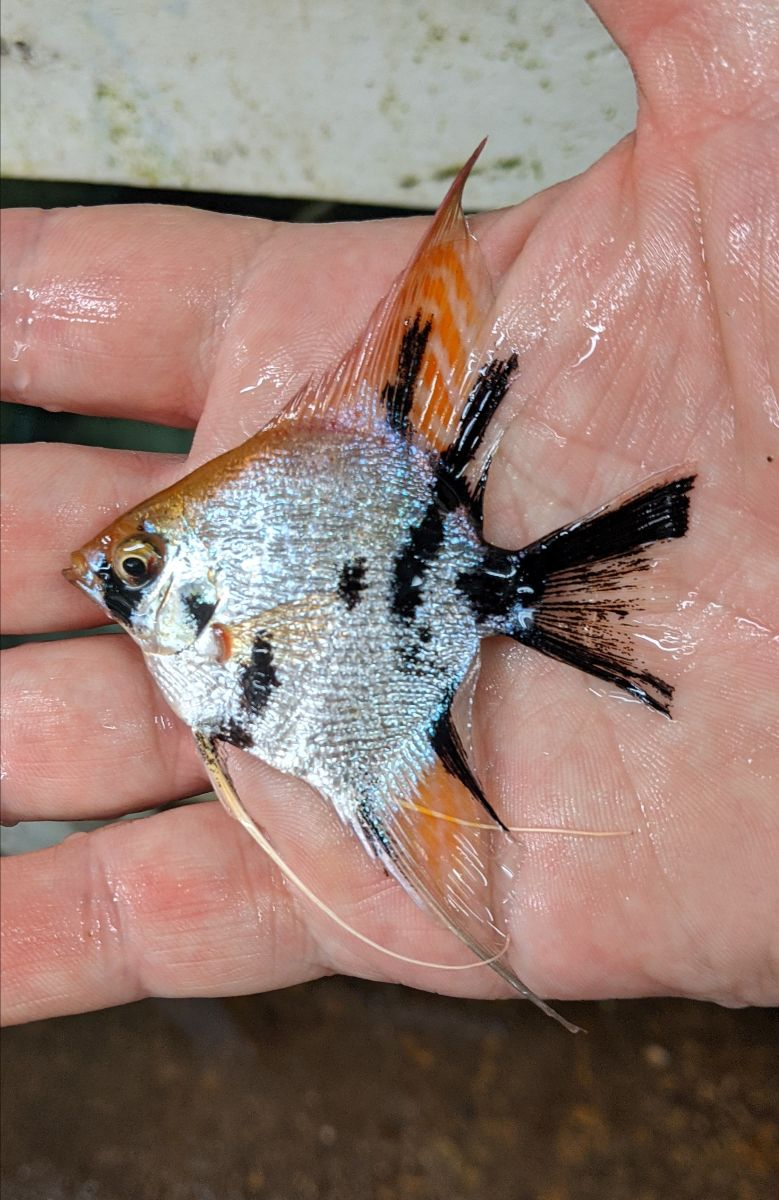 Angelfish - Koi Pearlscale Angelfish - Large