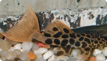 L114 Red Tail Leopard Cactus Pleco (Project Piaba) - 2 inch