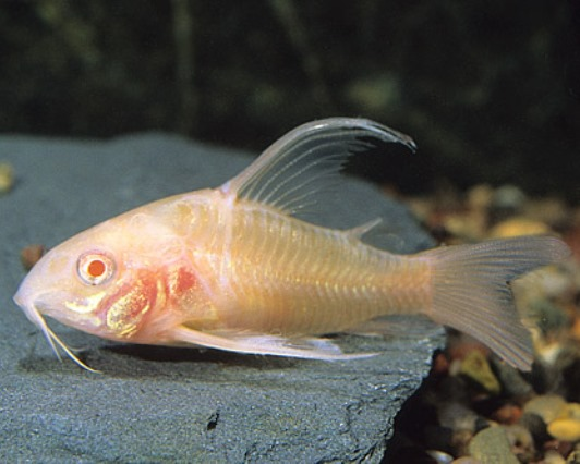Corydoras - Long Finned Albino Pepper Paleatus
