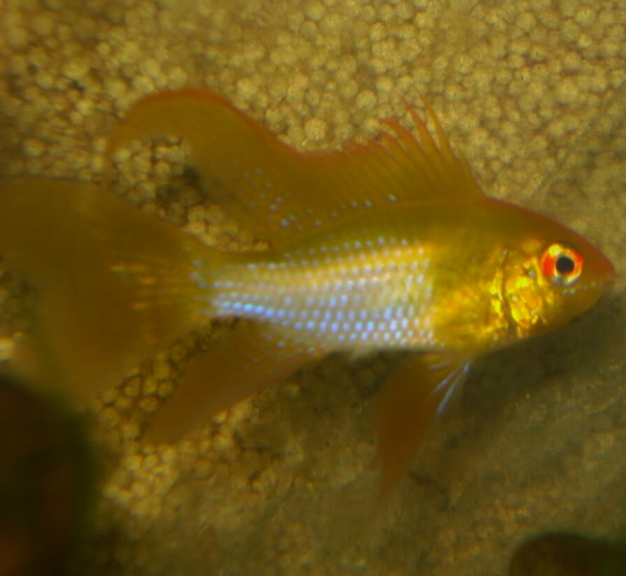 Ram - Long Finned Gold - 1.5 inch
