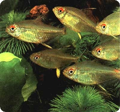 LEMON TETRA - LARGE - QUANTITY OF 12