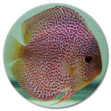 Red Leopard Snakeskin Discus Fish 2-3 inch