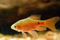 Long Finned Red Glass Barb - Quantity of 3