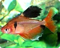 SERPAE TETRA LONG FIN - QUANTITY OF 4