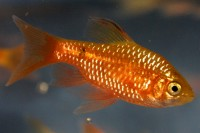 Long Finned Tangerine Barb - Quantity of 3