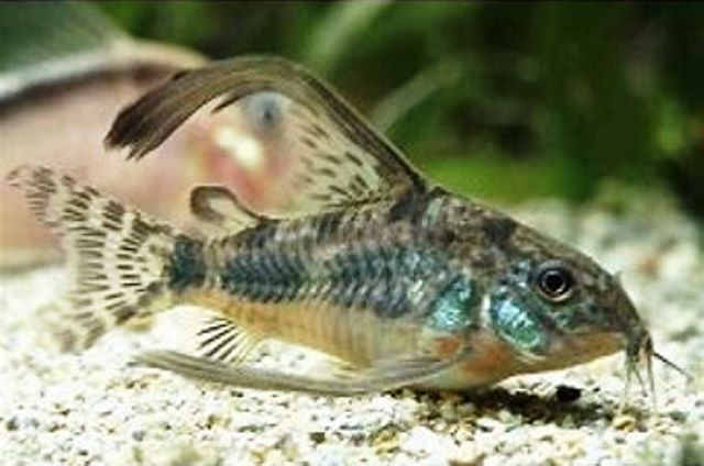 Corydoras - Long Finned Pepper Paleatus