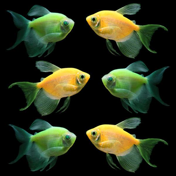 GloFish - * Tetra - Long Finned Assorted - Quantity of 6