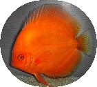 Mandarin Orange Discus Fish 2 inch