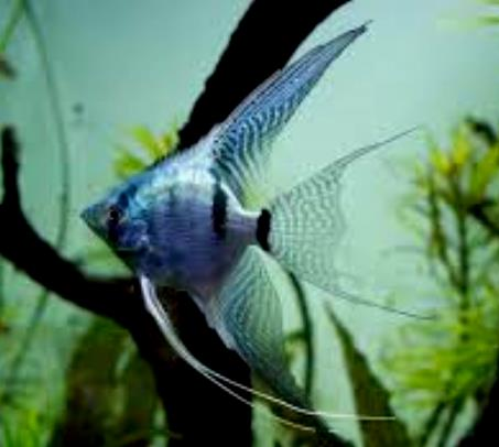 Angelfish - Metallic Powder Blue - Large