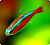 NEON TETRA - LARGE - QUANTITY OF 12