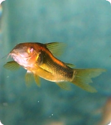 Corydoras - Orange Laser - Large