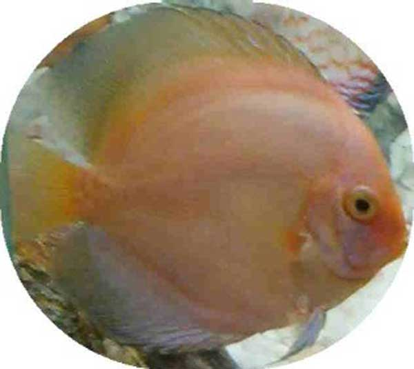 Orange Opal Diamond Fish  2-3 inch