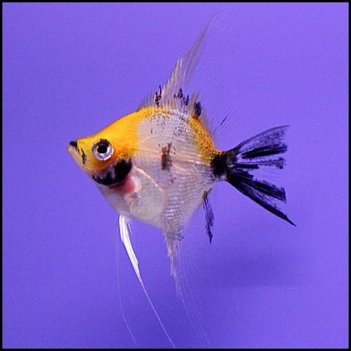 Angelfish - Orange White Pearlscale Koi - Medium