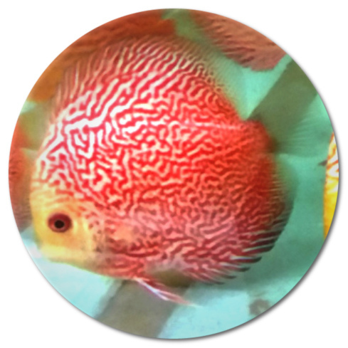 Pink Dragon Discus Fish - 2 inch