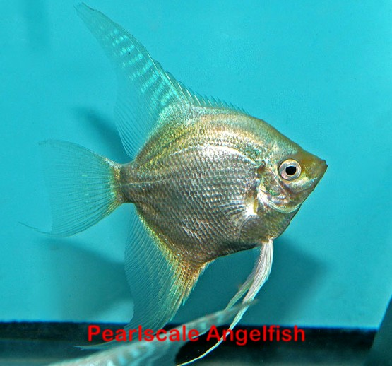 *Assorted Pearlscale Angelfish - Medium