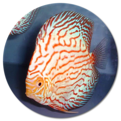 Pigeon Flower Discus Fish- 2-3 inch