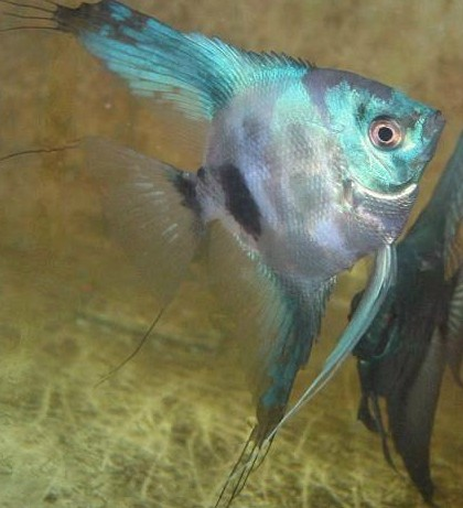 Angelfish - Pinoy Blue - Medium