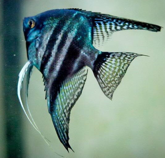 Angelfish - Pinoy Blue Zebra - Small - Quantity of 5
