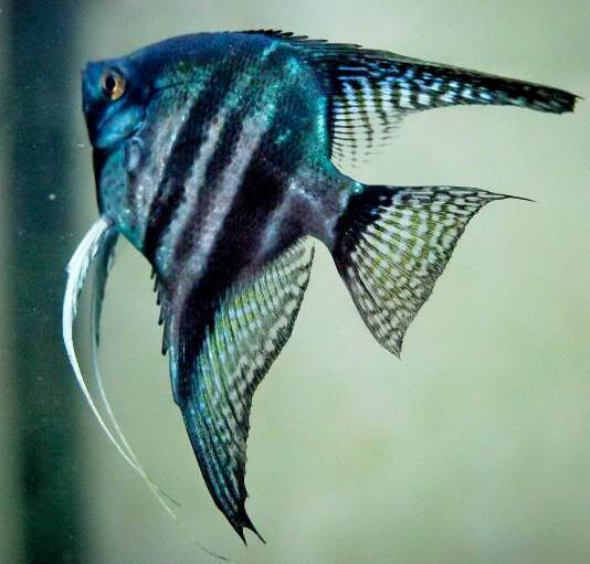 Zebra Blue Pinoy Angelfish