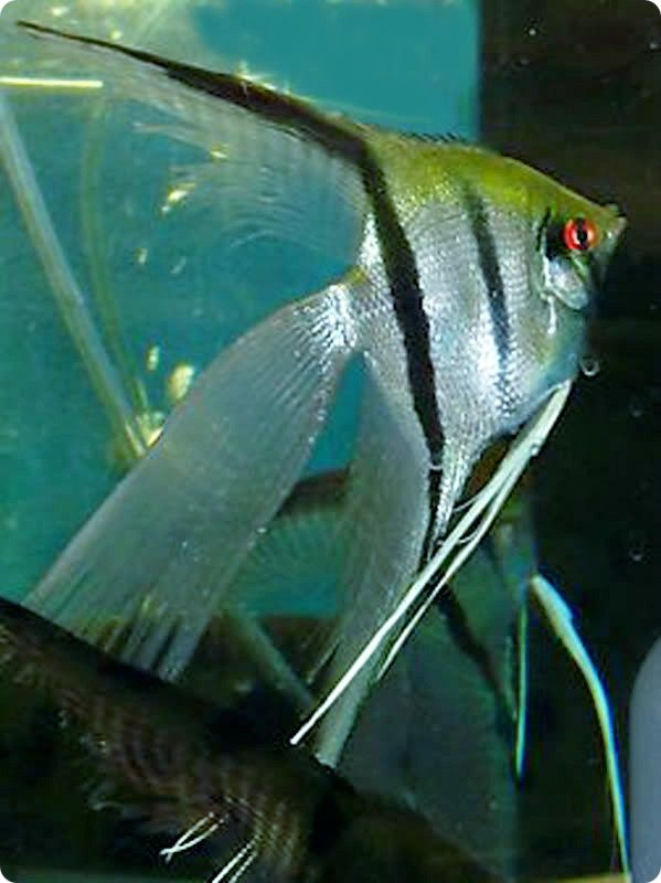 Black Veil Angelfish Pictures